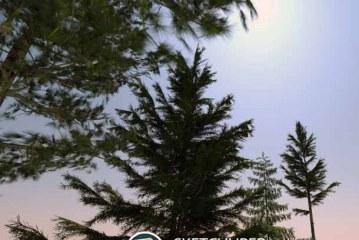 مجموعه دوم درخت ها ( درخت های کاج)